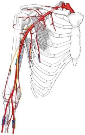 Artery-Brachialis