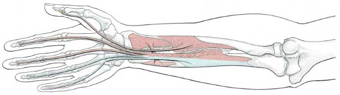 Flexor-muscles