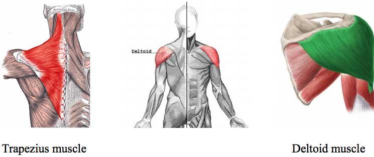 Trapezius-muscle-